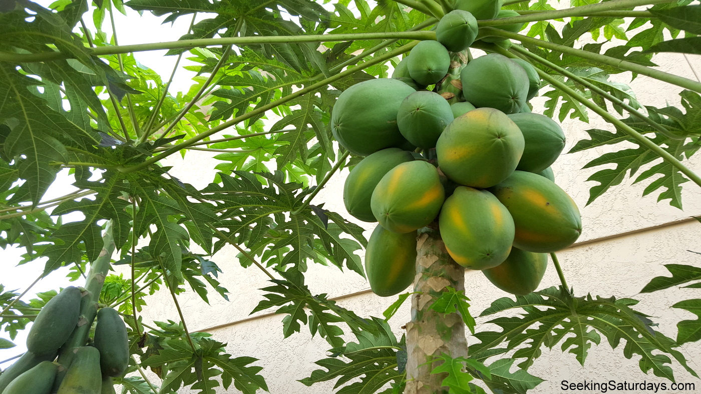 Growing Papaya Trees