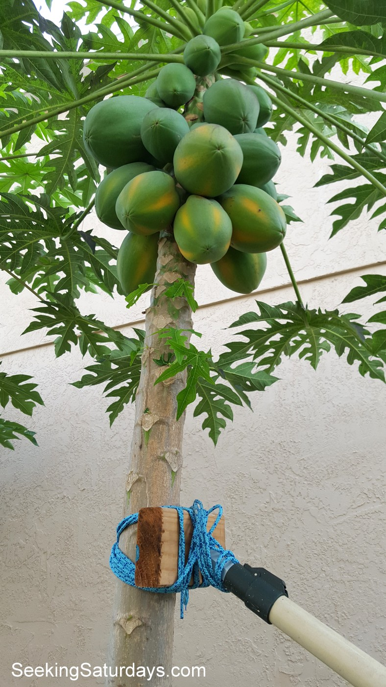 Staking Papaya Trees for Support
