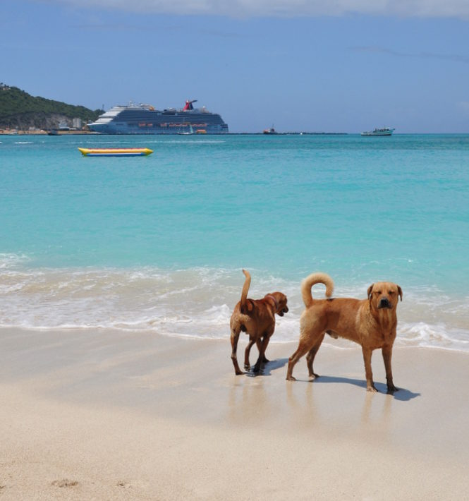 Dogs playing on the beach in St Maarten, Caribbean