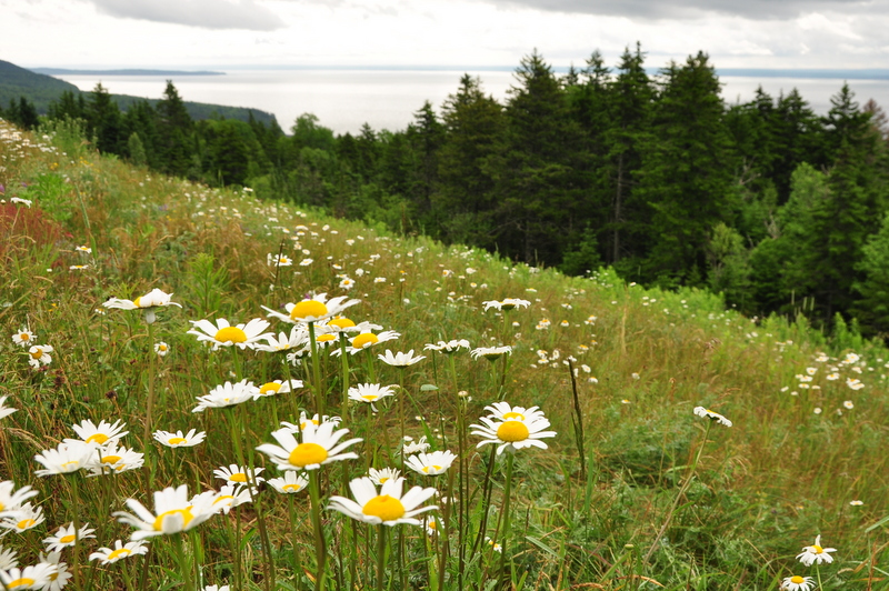Daisy flowers on mountainside at Fundy National Park