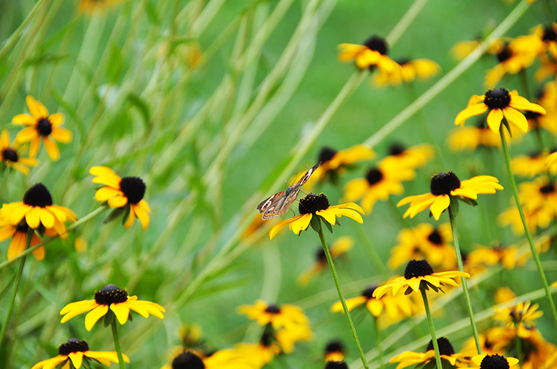 Black Eyed Susan yellow flowers with a butterfly landing